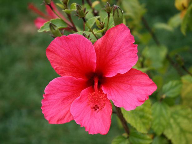 flor de hibiscus flor de hibisco