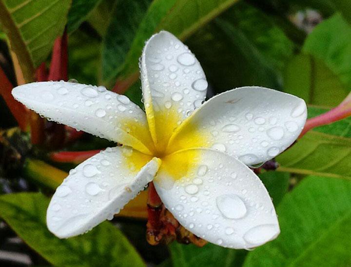 flor hawaiana plumeria